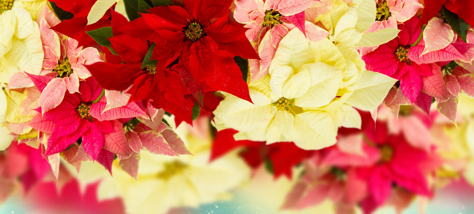 Garden Club Poinsettia Fundraiser Under Way
